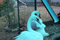 Белые лебеди в нашем питомнике