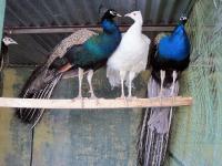 Белый и синии павлины