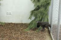 Павлиний фазан