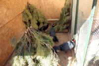 Синий ушастый фазан