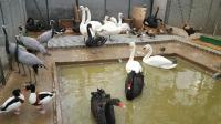 Продажа молодняка декоративных фазанов и павлинов