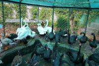 Белые и черные лебеди