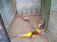 Желтый золотой фазан